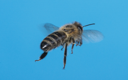 a bee (apis mellifera) flying Stock Photo