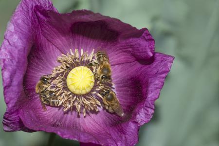 bees apis mellifera