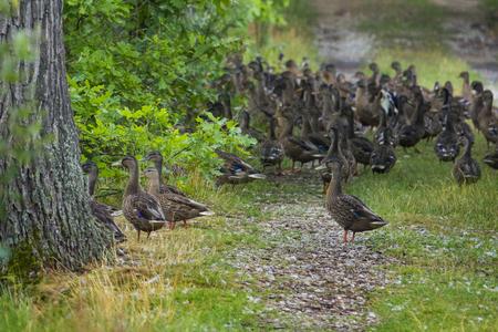 wild ducks - (Anas platyrhynchos) in nature