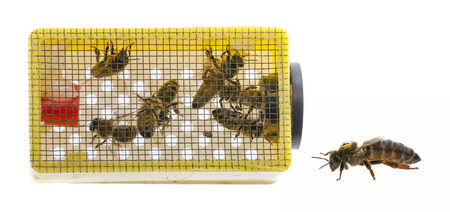 little cage with bee queen and bees