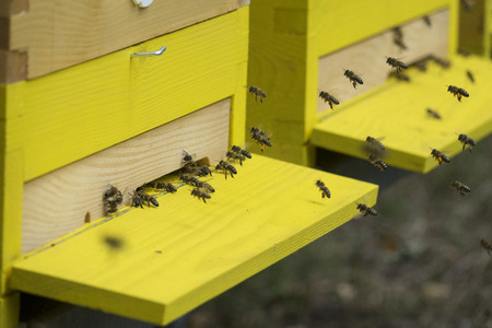 mellifera: bees (apis mellifera) are flying back to hive