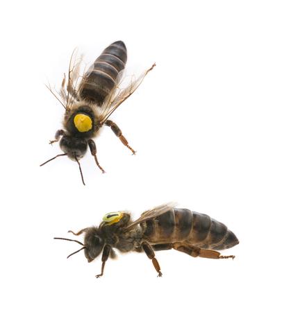 bee queens - mothers - apis mellifera