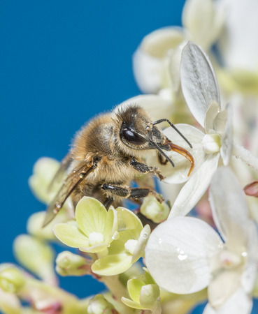 apis: bee (apis mellifera) on a flower close up
