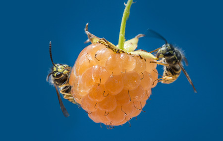 wasps (Vespula vulgaris) on a raspberry Stock Photo