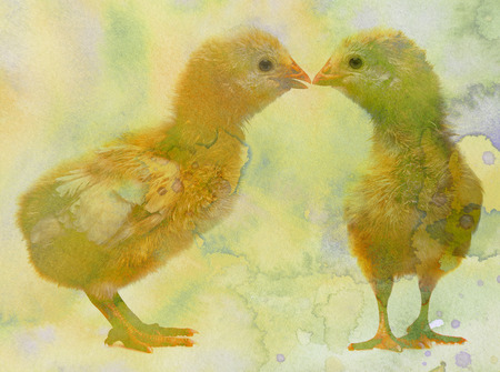chick: two cute chickens with watercolors texture Stock Photo