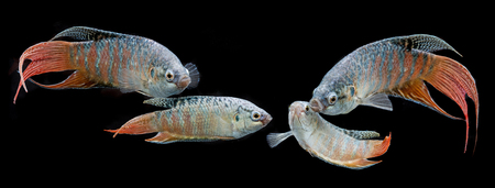 freshwater aquarium fish: Macropodus opercularis - Paradise fish, Forktail fightingfish - aquarium fish