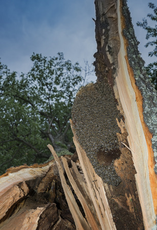 bee tree - bees (apis mellifera) living in tree, the tree was broken during a storm Stock Photo