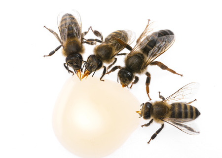 bee queen - mother and bee workers (apis mellifera) are drinking honey