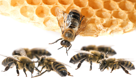 bee drone and bee workers close up