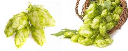 green hop cones in a basket