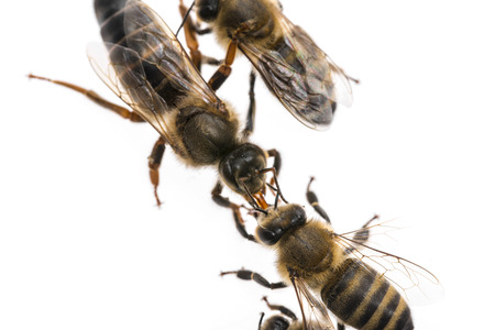 worker bee is feeding the queen (apis mellifera) Stock Photo