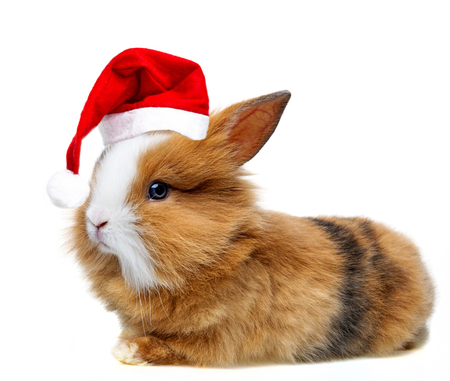 little rabbit with read santa cap isolated on white