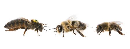 꿀벌 여왕 어머니와 무인 항공기 및 꿀벌 작업자 - 세 가지 유형의 꿀벌 (api mellifera)