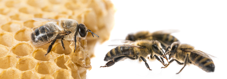 apis: bee drone and bee workers close up