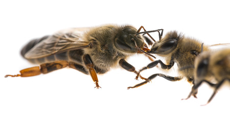worker bee and the queen (apis mellifera) Stock Photo