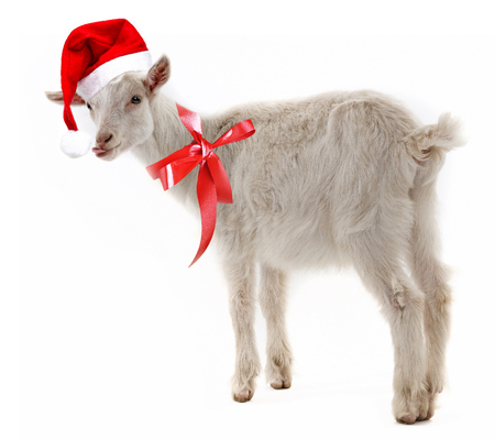 Christmas Goat.Christmas Goat Stock Photos And Images 123rf