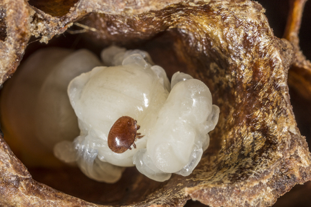 여왕 꿀벌 번데기에 Varroa 소멸자