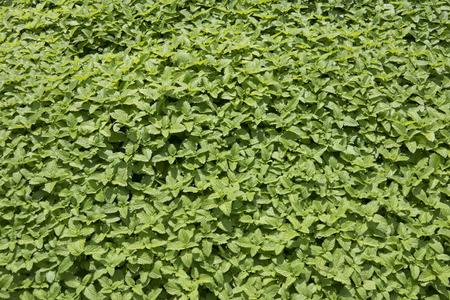 balm herb - melisa officinalis in the garden Stok Fotoğraf