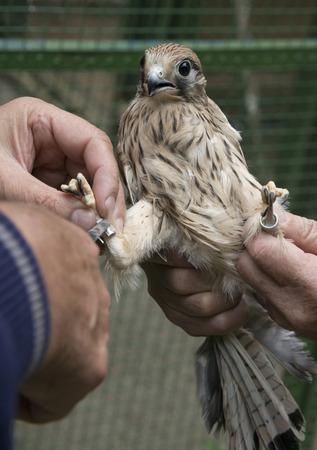 bird ringing - common kestrel (Falco tinnunculus)