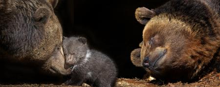 bears family - brown bear - Ursus arctos