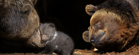bears family - brown bear - Ursus arctos