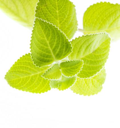 Indian borage, Plectranthus amboinicus - healthy plant