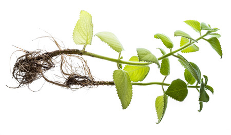 Indian borage, Plectranthus amboinicus - healthy plant - piece of plant with new roots