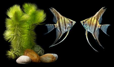 Angelfish (Pterophyllum scalare) isolated on black background  스톡 콘텐츠