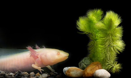 Axolotl (Ambystoma mexicanum) in aquarium