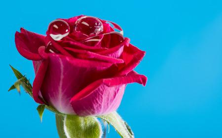 red rose with rain drops - macro photo Stock Photo