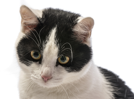 black and white cat close up in detail