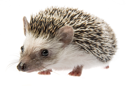Four-toed Hedgehog (African pygmy hedgehog) - Atelerix albiventris Reklamní fotografie