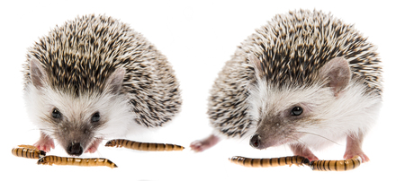 Four-toed Hedgehog (African pygmy hedgehog) - Atelerix albiventris Stock Photo