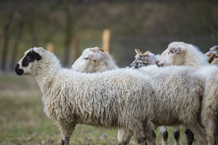 a sheep herd close up on a meadow 写真素材