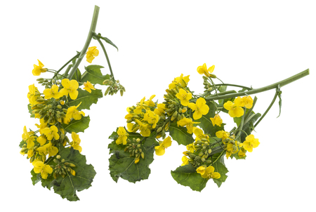 Rapeseed (colza) Brassica napus  flowers isolated on white