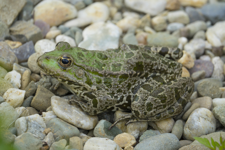 rana esculenta - common european green frog  Stock Photo