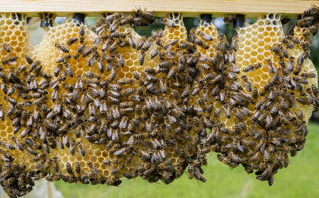 queen cells with bee queens (mothers) from nurse colony