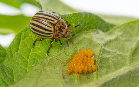 The Colorado potato beetle (Leptinotarsa decemlineata) -  pest of potatoes and tomatoes