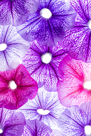 background from flower petals - purple petunia