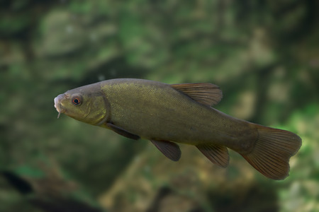 tench - Tinca tinca - fish in nature
