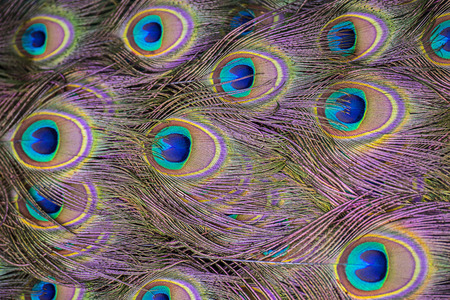 background from peacock feathers close up Stock Photo