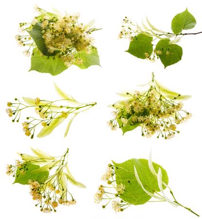 Collezione di fiori di tiglio (Tilia cordata) isolato su uno sfondo bianco Archivio Fotografico