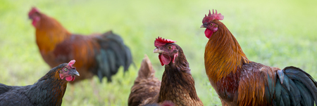rooster and hens in the garden on a farm - free breeding