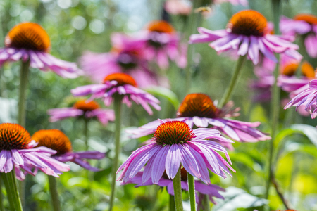 the Echinacea  - coneflowers in the garden close up Stock Photo