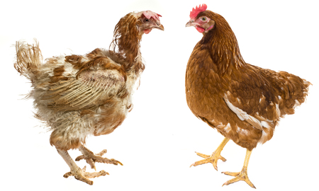 layers - hen from intensive  indoor farming - animal protection concept - the difference between free-range hen and hen from intensive breeding Stock Photo