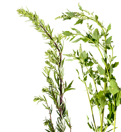 Artemisia vulgaris and Chenopodium album common weed - isolated on a white background