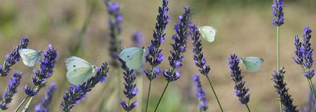 white butterfly on lavender flowers macro photo Foto de archivo