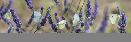 white butterfly on lavender flowers macro photo Reklamní fotografie