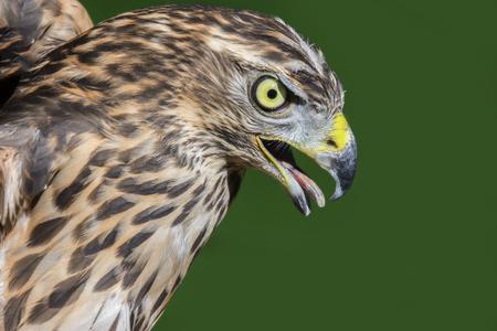 Northern Goshawk (Accipiter gentilis) portrait close up Reklamní fotografie