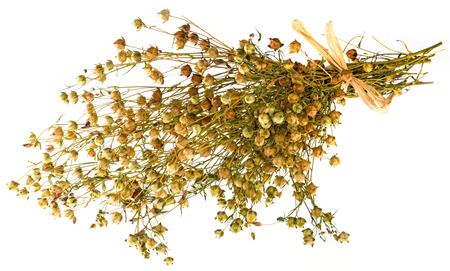 bunch of dry flax plant (Linum usitatissimum) close-up Reklamní fotografie